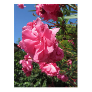Flowering Oleander against the blue sky Postcard