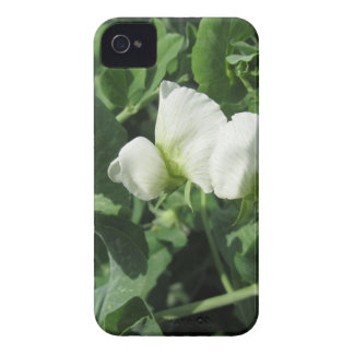 Flowering peas plant in a field . Tuscany, Italy iPhone 4 Case-Mate Cases