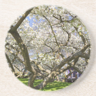 Flowering trees with white blossom in spring beverage coaster
