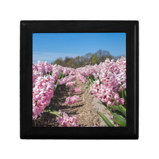 Flowers field with pink hyacinths in Holland Gift Box
