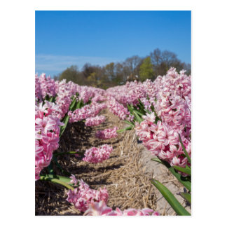 Flowers field with pink hyacinths in Holland Postcard