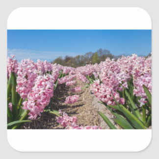 Flowers field with pink hyacinths in Holland Square Sticker