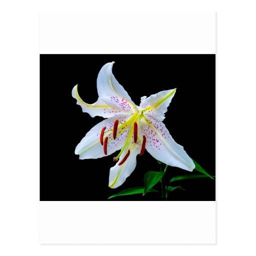 Flowers Lilies Blossoms Wedding Shower Love Peace Post Cards