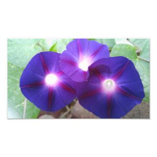 FLOWERS-MORNING GLORIES PHOTOGRAPHIC PRINT