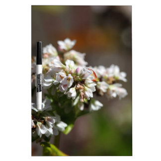 Flowers of a Buckwheat plant (Fagopyrum esculentum Dry Erase Board