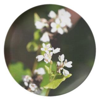 Flowers of a Buckwheat plant (Fagopyrum esculentum Party Plates