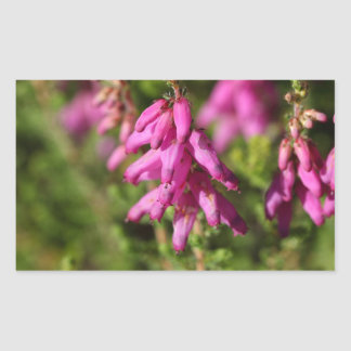 Flowers of a Dorset heath (Erica cilaris)