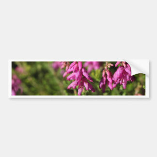 Flowers of a Dorset heath (Erica cilaris) Bumper Sticker