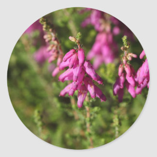 Flowers of a Dorset heath (Erica cilaris) Classic Round Sticker