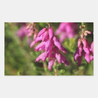 Flowers of a Dorset heath (Erica cilaris) Sticker