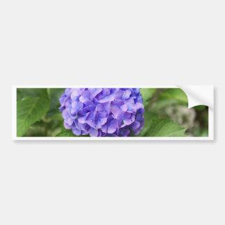 Flowers of a French hydrangea (Hydrangea macrophyl Bumper Sticker
