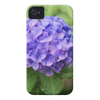 Flowers of a French hydrangea (Hydrangea macrophyl iPhone 4 Case-Mate Case