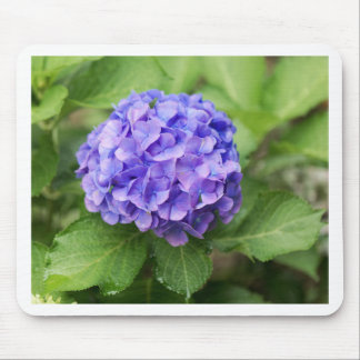 Flowers of a French hydrangea (Hydrangea macrophyl Mouse Pad