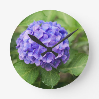 Flowers of a French hydrangea (Hydrangea macrophyl Round Clock