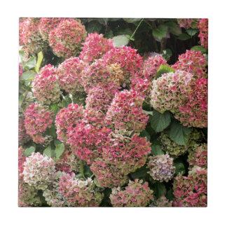 Flowers of a French hydrangea (Hydrangea macrophyl Tile
