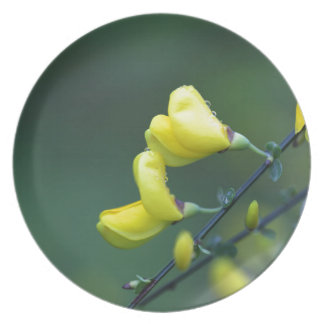 Flowers of a German Greenweed bush, Genista german Dinner Plate
