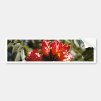 Flowers of an African tuliptree Bumper Sticker