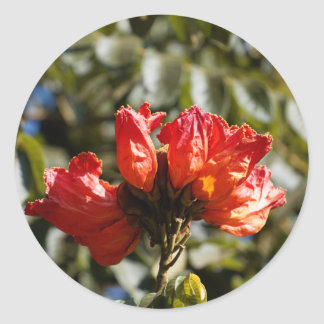 Flowers of an African tuliptree Classic Round Sticker