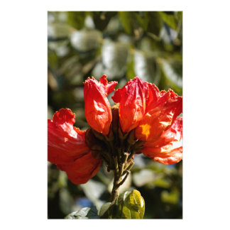 Flowers of an African tuliptree Stationery
