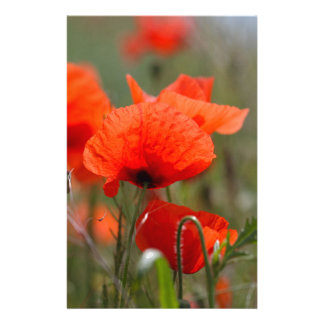 Flowers of common poppy in a field. customized stationery