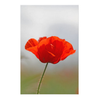 Flowers of common poppy in a field. stationery