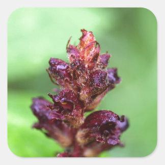 Flowers of the broomrape Orobanche gracilis Square Sticker