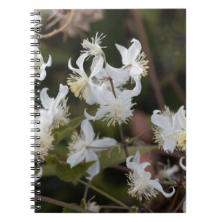 Flowers of Traveller Joy (Clematis brachiata) Notebooks