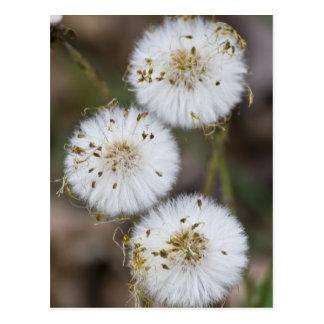 Fluffy Dandelions Postcard