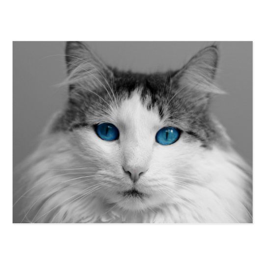 Fluffy Grey and White Blue-Eyed Cat Postcard