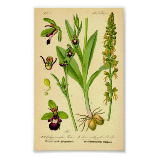 Fly Orchid (Ophrys insectifera) Poster