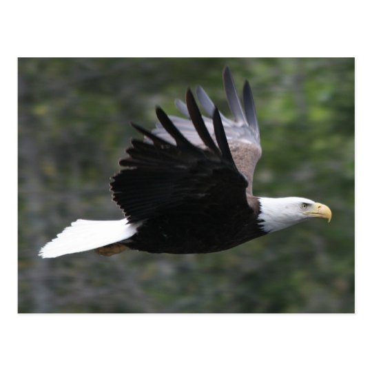 Flying Bald Eagle Postcard