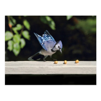 Flying Blue Jay Photo Postcard