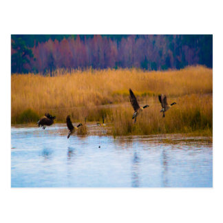 Flying Canadian Geese Postcard
