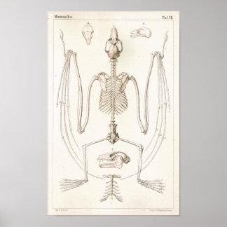 Flying Fox Bat Skeleton Veterinary Anatomy Print