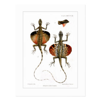Flying lizard postcard