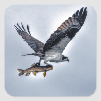 Flying Osprey with Walleye Fish HDR Photo Square Sticker