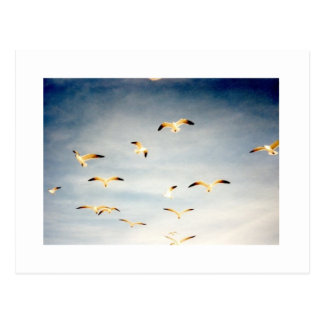 Flying Seagulls Postcard