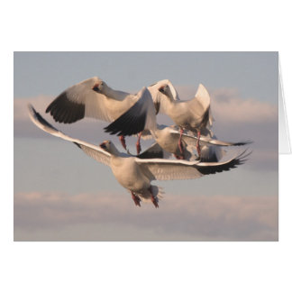 Flying Snow Geese Card