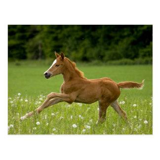 Foal in the gallopp (Trakehner) Postcard