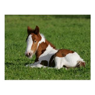 Foal Laying in Grass Postcard