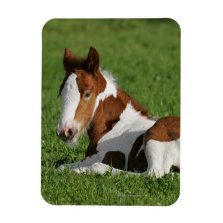Foal Laying in Grass Rectangular Photo Magnet