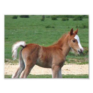 Foal Photo Print