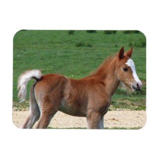 Foal Rectangular Photo Magnet