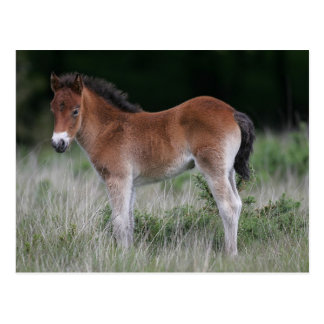 Foal Standing Post Cards