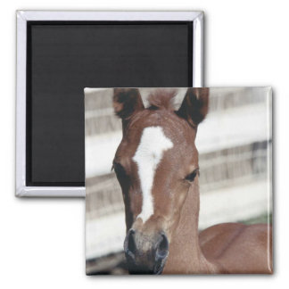 Foal with Blaze Square Magnet