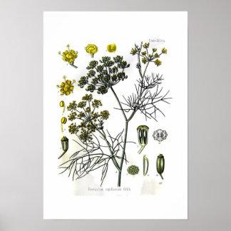 Foeniculum capillaceum(fennel) poster