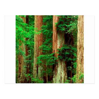 Forest Ancient Giants Big Basin Redwood Park Postcard