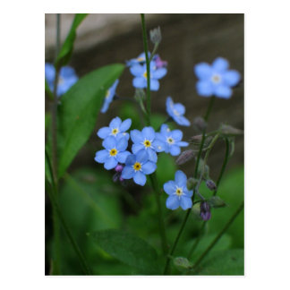 Forget-me-not flower postcard