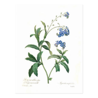Forget-me-not Postcard