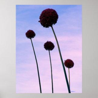 Four Allium Flowers Poster